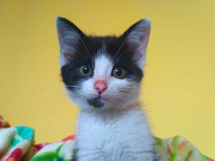 Pestka kotka do adopcji - Moje Jasło