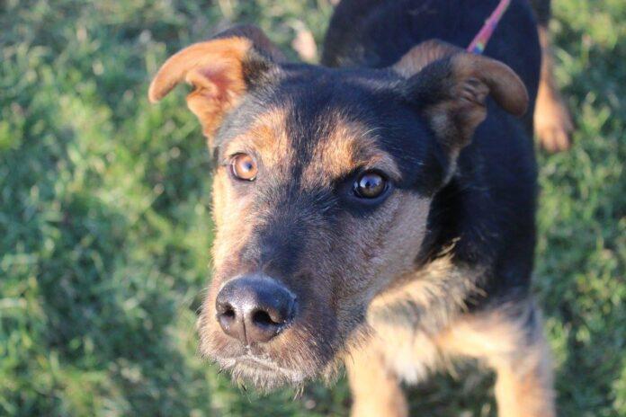 Znaleziono 7 miesięcznego psiaka w Warzycach