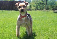 Franklin szuka domu - psy do adopcji Jasło