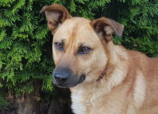 Znaleziono psa wielkości przed kolano Jasło