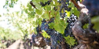 jasielskie wina nagrodzone