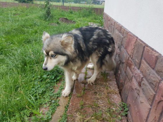 Sunia szuka domu - psy do adopcji Jasło