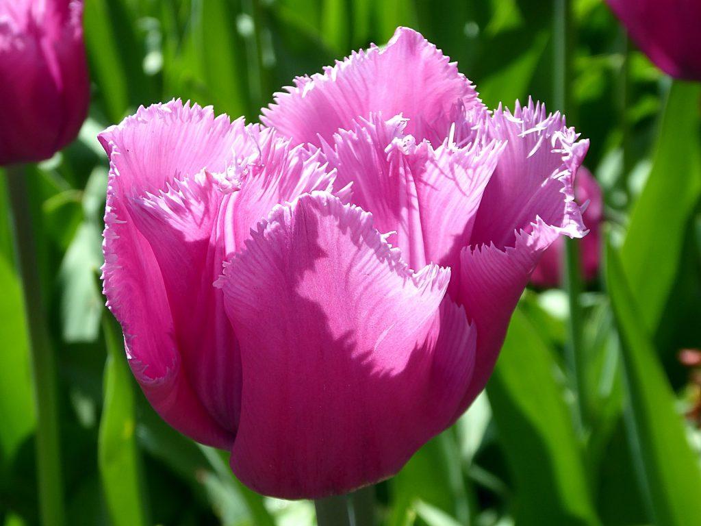 Tulipan strzępiasty