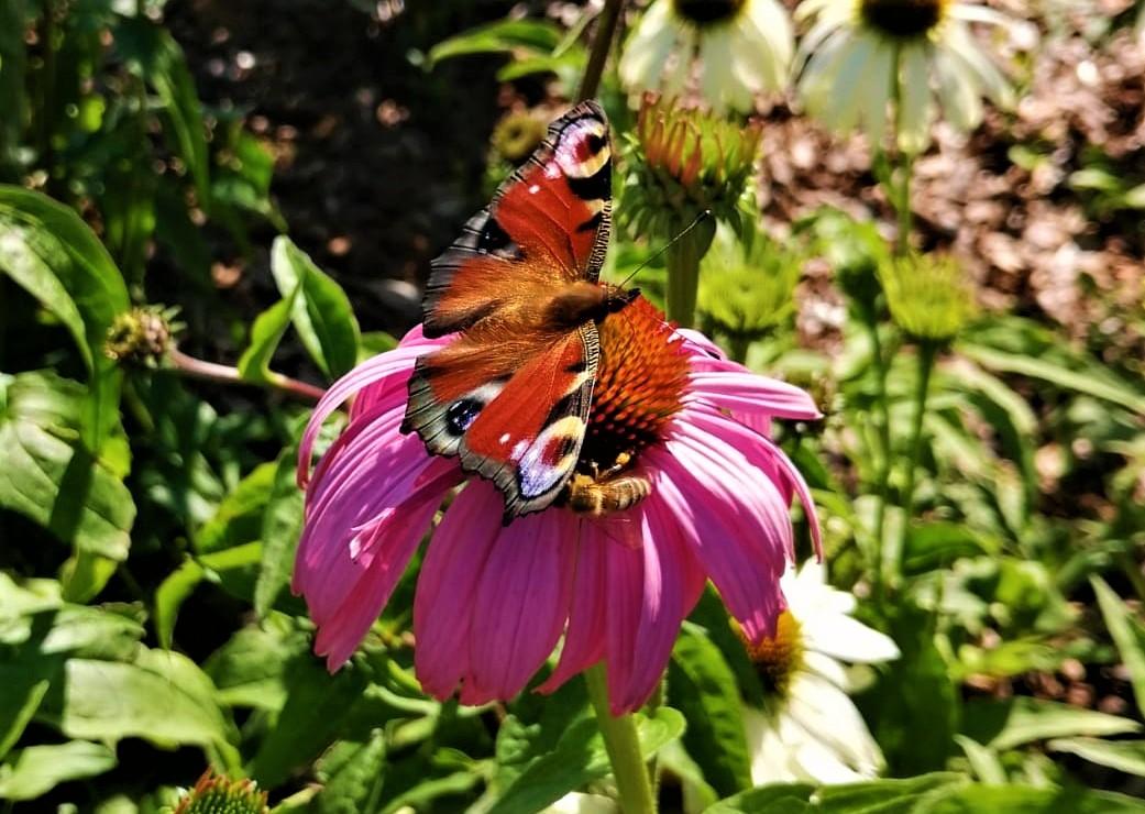 Motyl Jasło