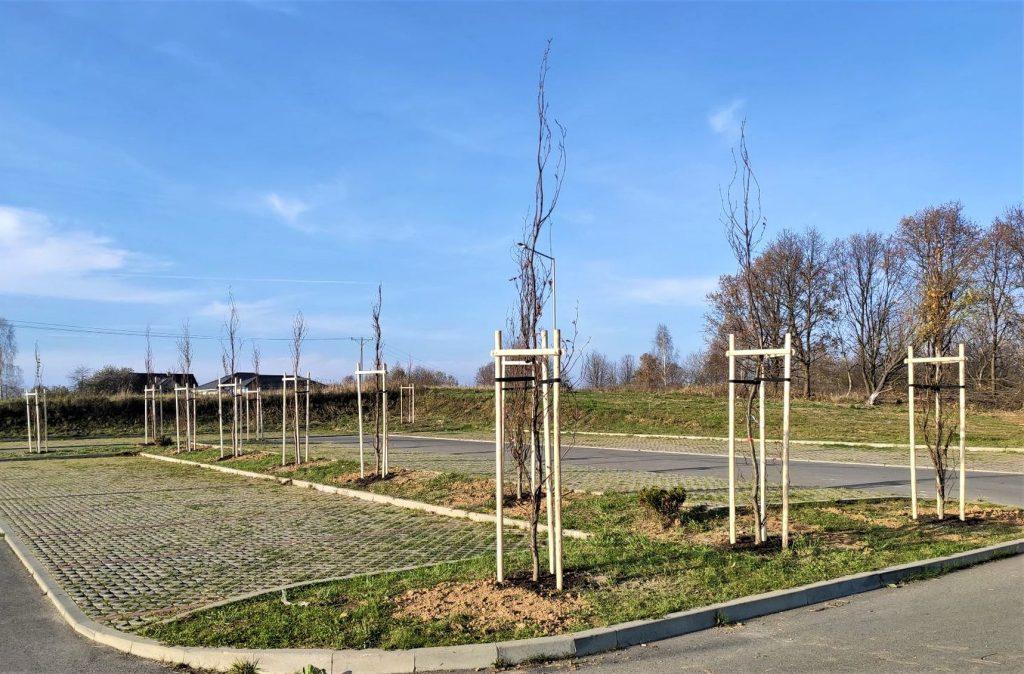 Nowy Cmentarz - buki pospolite kolumnowe