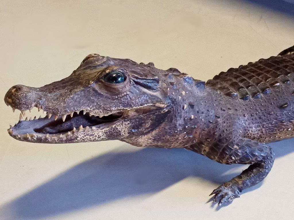 Przemycał krokodyla w bagażniku peugeota