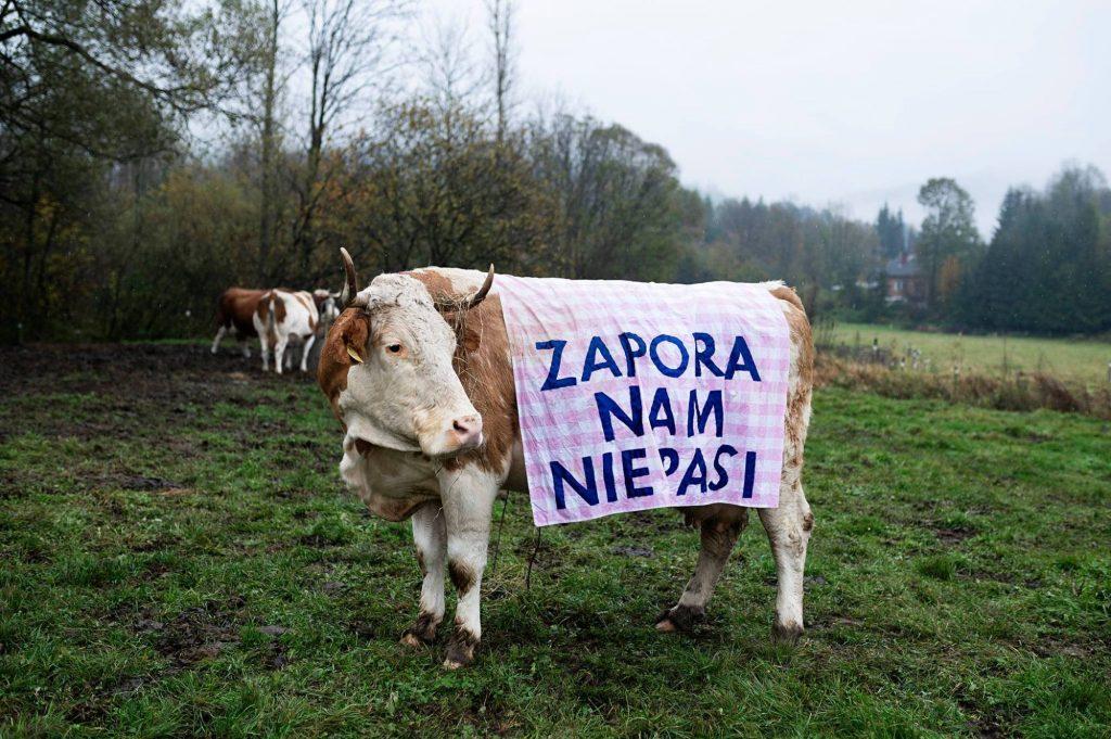Krowy w Myscowej protestują! Nie chcą zbiornika Kąty-Myscowa
